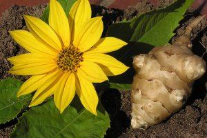 菊芋の花と菊芋